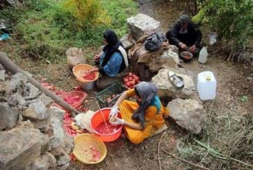 <span style='color:black;font-size:14px;'>تولید رب انار ارگانیک در کردستان؛</span><br>سور پاییزی در انارستان های اورامان/ مشکلات کشاورزان ادامه دارد