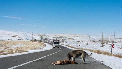 جاده های که میزبان مرگ حیوانات شده اند