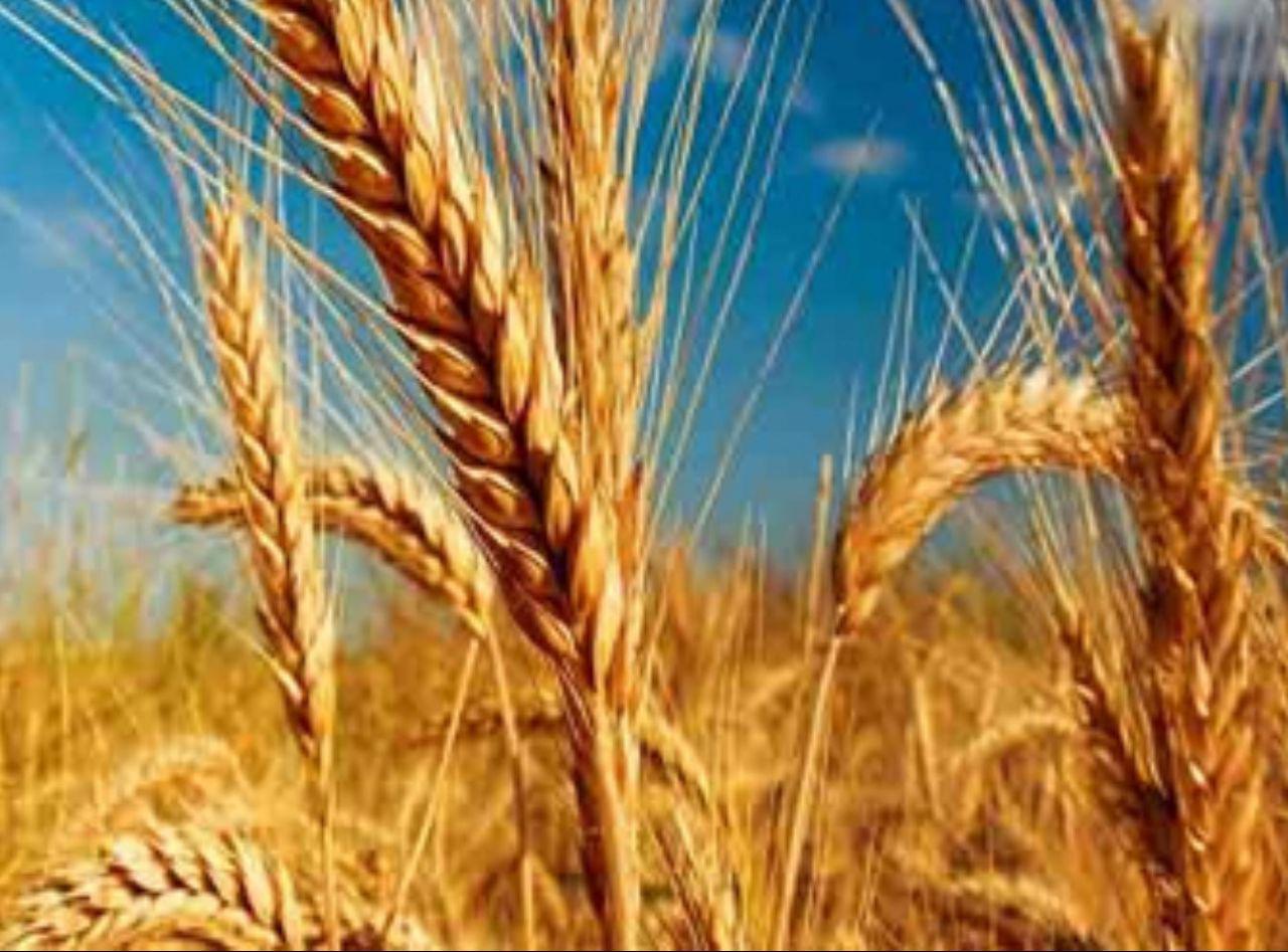 کاهش ۳۰ درصدی تولید گندم در سقز