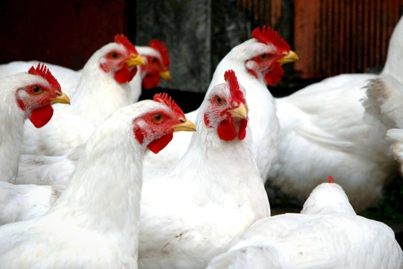 دولت و قوهی قضائیه مانع فروپاشی صنعت مرغ شوند